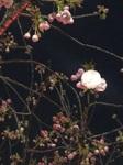 210327八重桜.jpg
